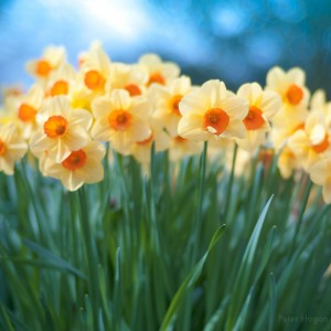 Daffodils Mean Spring - 3DPete