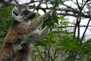 See the Ring tailed Lemur.